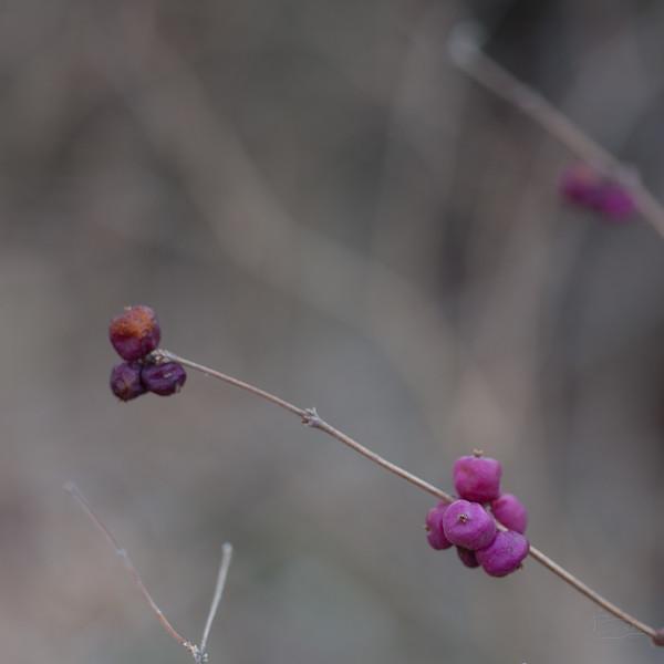 Little Purple Berries.