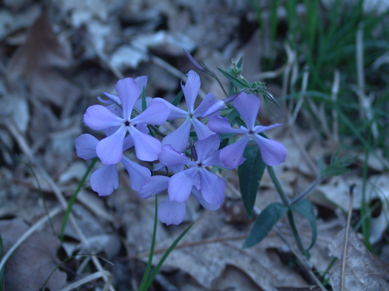 Little blue flower