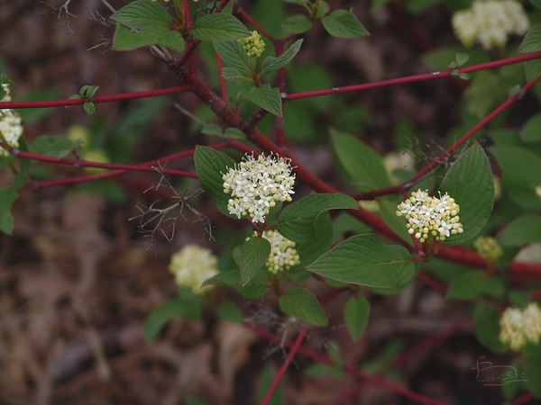 Red Ozier dogwood