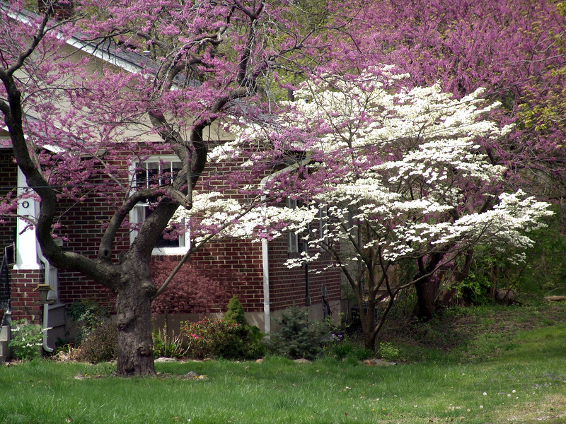 Dogwood and redbud on a quiet residential street in Columbia, Missouri.