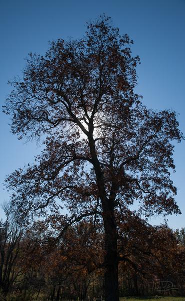 Oak eclipse of the sun