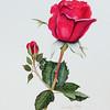 """Blaze"" Rose #2"