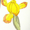 Study of yellow iris, after Merian