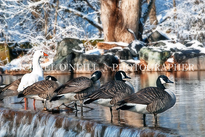 Ducks on the falls