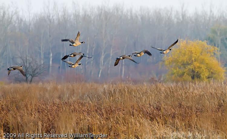 Geese in flight, ONWR