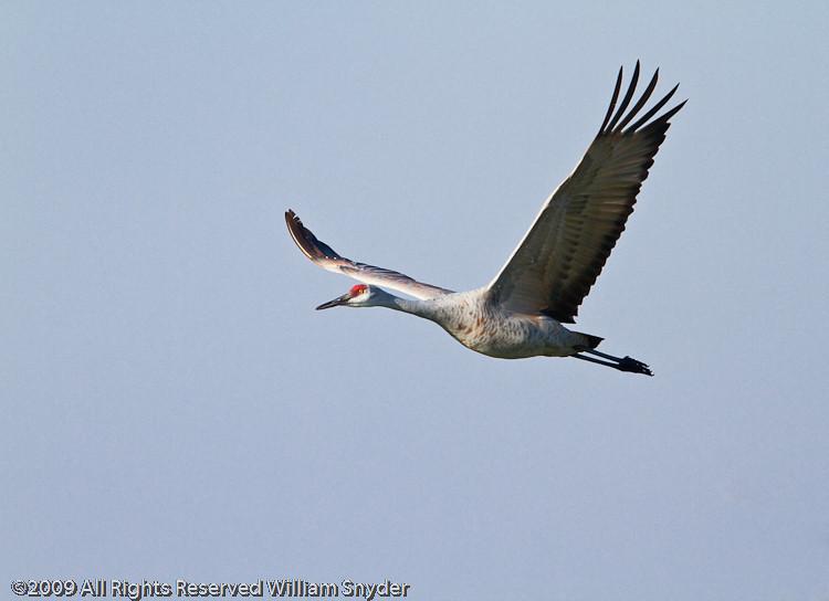 Sandhill Crane flight