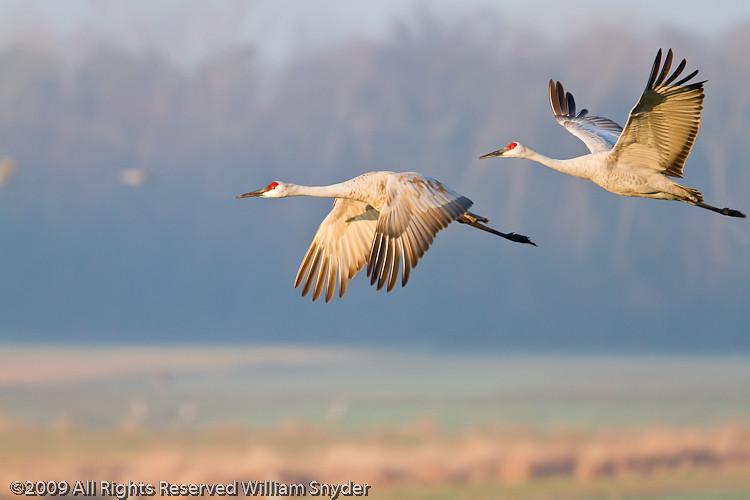 2by2, Sandhill Cranes, Jasper Pulaski