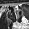 Face off<br /> <br /> Rachael Waller Photography<br /> wild horses