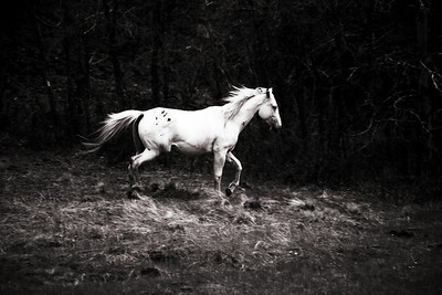 Tiny Dancer Wild Apache Horse  Rachael Waller Photography NEW 2009 A portion of proceeds will be donated to Wild horses in need.