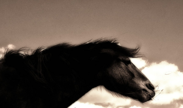Guardian Wild horse Rachael Waller Photography All rights reserved.