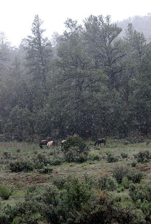 Wild horses high in the mountains in a spring snow<br /> Rachael Waller Photography