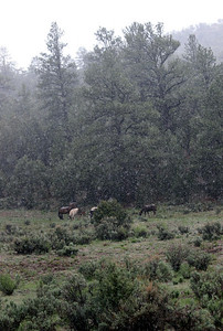 Wild horses high in the mountains in a spring snow Rachael Waller Photography