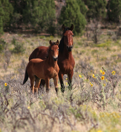 The Protector Wild Horses Rachael Waller Photography A head stallion guards his spring colt while keeping an eye on my lens.