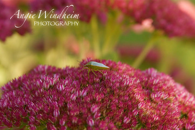 Green Stink Bug resting on Autumn Joy Sedum.