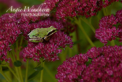 Pacific Northwest Tree Frog resting in Autumn Joy Sedum.