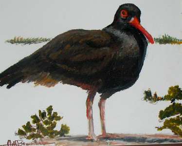 "Black Oyster Catcher 11""x14"" Oil Pastel on Bristol Board Private Collection"