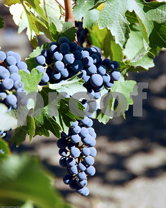 Grapes Wine Country