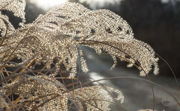 Backlit pampas grass