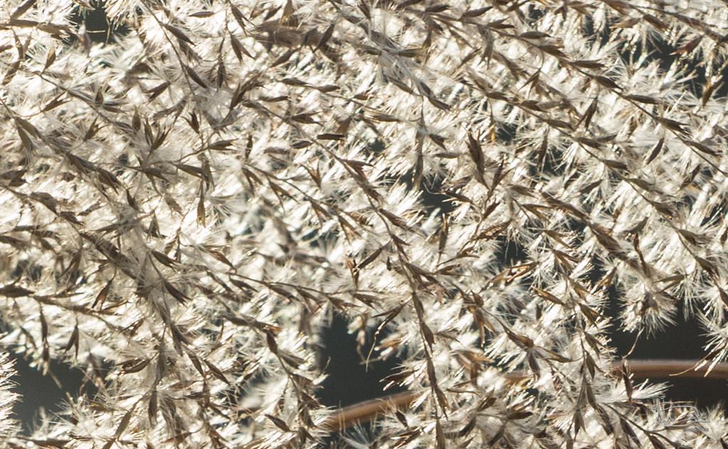Backlit pampas grass detail