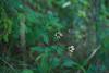 echinacea purpurea in full shade