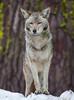 Coyote (12x16 25)7258