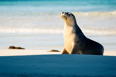 Seal on Kangaroo Island, Australia.  © 2013 Nicole S. Young