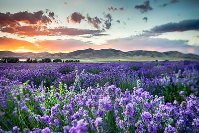 Tilted Lavender
