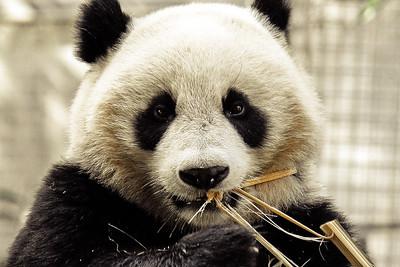 hungry panda  San Diego, CA