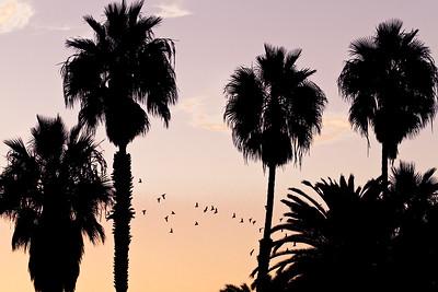 pacific beach palms  Pacific Beach, San Diego CA