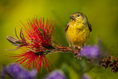 Bird on Bottlebrush
