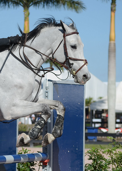 Detail of a grey horse and rider at show jumping composition. Parts of the rider are visible. The horse is jumping over a blue fence on a sunny day with a blue sky