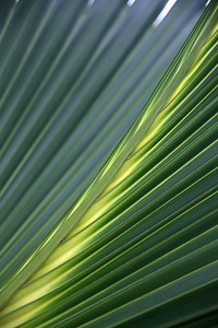 Leave of Palm