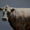 """Field Cow Study #1"", oil, 8x10, $1,000"