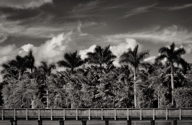 Black and white image of tropical vegetation which includes stately palm trees landscaped behind a boardwalk over still water