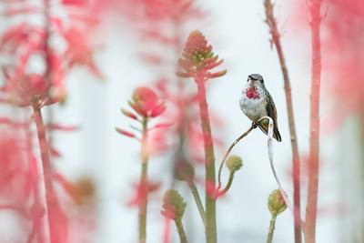 Hummingbird Amidst Flowers