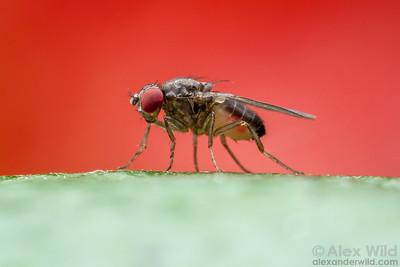Drosophila pseudoobscura