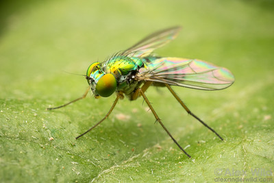 Dolichopodidae - long-legged fly