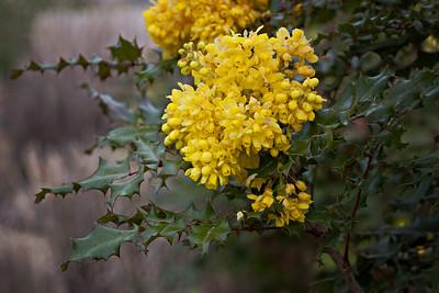 Native is Beautiful Series: Oregon Grape (Majonia repens)