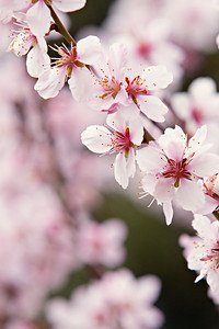 Almond Tree - Spring Blossoms