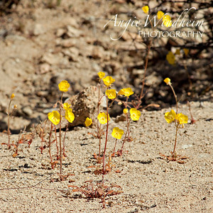 Desert Primrose at Joshua Tree National Park