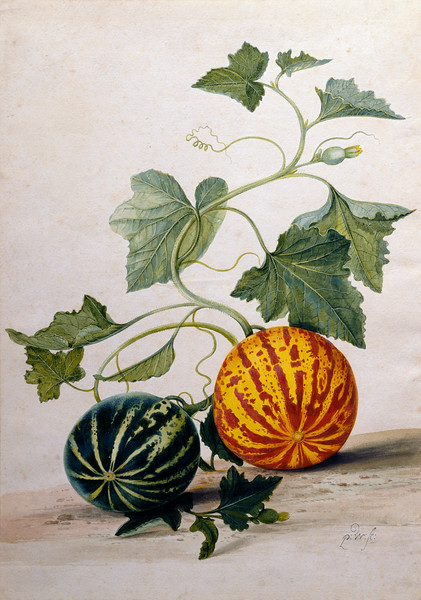 ca. 1675-1693 --- A Study of Gourds by Pieter Withoos --- Image by © Fine Art Photographic Library/Corbis