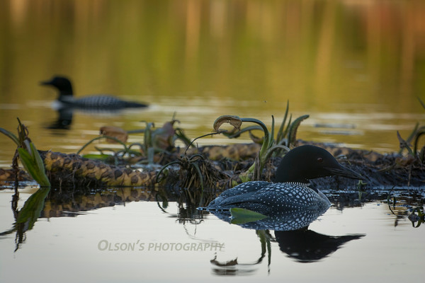 loons_2014_027