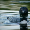 loons_2014_001