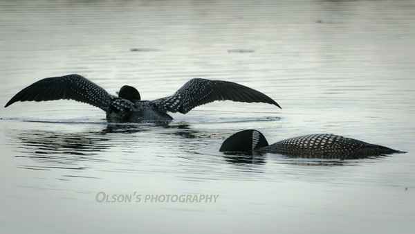loons_2014_017