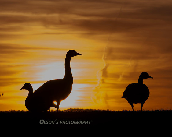 canada goose at sunrise