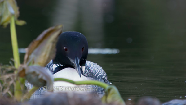 loons_2014_040