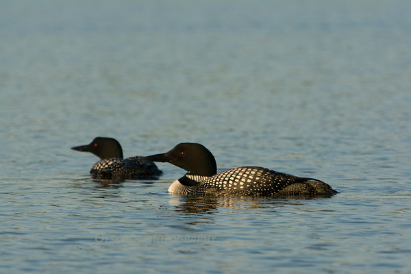 loons_2014_004