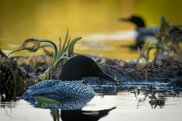 loons_2014_025