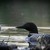 loons_2014_036