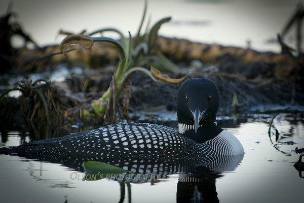 loons_2014_022